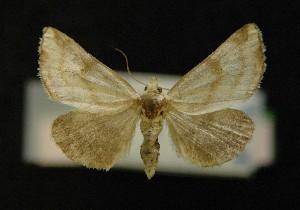 (Stiriinae - AOC Lep 00673)  @14 [ ] Copyright (2014) Bavarian State Collection of Zoology (ZSM) Universidad de Murcia
