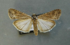 ( - AOC Lep 00680)  @15 [ ] Copyright (2014) Bavarian State Collection of Zoology (ZSM) Universidad de Murcia