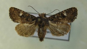 (Dryobota - AOC Lep 00718)  @14 [ ] Copyright (2014) Bavarian State Collection of Zoology (ZSM) Universidad de Murcia