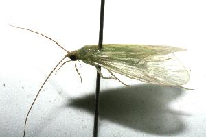 (Trichoptera_incertae_sedis - 08-SRNP-100114)  @13 [ ] Unspecified (default): All Rights Reserved  Unspecified Unspecified