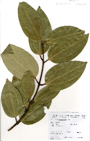 (Cinnamomum zeylanicum - GH0017)  @11 [ ] No Rights Reserved  Unspecified Unspecified