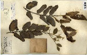 (Parinari - FHO-00020615E)  @11 [ ] Copyright (2013) Cicely Marshall Dept of Plant Sciences, University of Oxford
