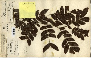 (Didelotia - FHO-00020619I)  @11 [ ] Copyright (2013) Cicely Marshall Dept of Plant Sciences, University of Oxford