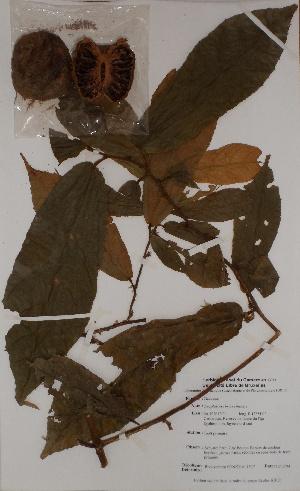 (Desplatsia - BRLU-BS0977)  @11 [ ] CreativeCommons - Attribution Non-Commercial Share-Alike (2013) Unspecified Herbarium de l'Université Libre de Bruxelles