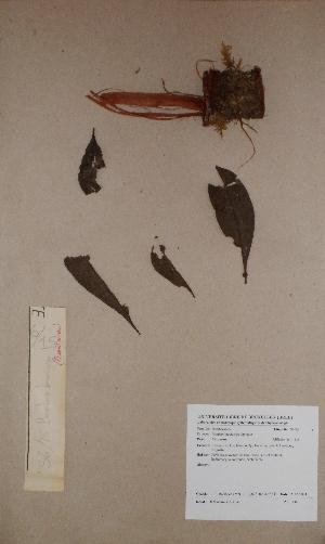 (Bombax - BRLU-BS1436)  @11 [ ] CreativeCommons - Attribution Non-Commercial Share-Alike (2013) Unspecified Herbarium de l'Université Libre de Bruxelles