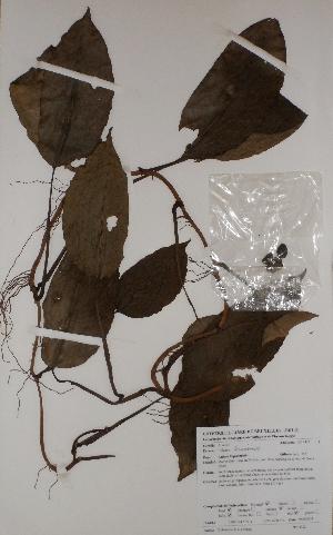 (Culcasia - BRLU-BS4322)  @11 [ ] CreativeCommons - Attribution Non-Commercial Share-Alike (2013) Unspecified Herbarium de l'Université Libre de Bruxelles