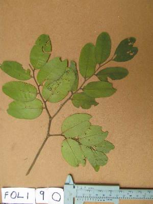 (Detarium - FOLI090)  @11 [ ] CreativeCommons - Attribution Non-Commercial Share-Alike (2013) Unspecified Herbarium de l'Université Libre de Bruxelles