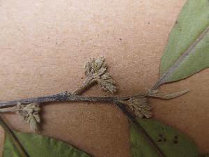 (Diospyros mespiliformis - FOLI091)  @11 [ ] CreativeCommons - Attribution Non-Commercial Share-Alike (2013) Unspecified Herbarium de l'Université Libre de Bruxelles