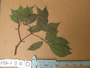 (Nesogordonia - FOLI100)  @11 [ ] CreativeCommons - Attribution Non-Commercial Share-Alike (2013) Unspecified Herbarium de l'Université Libre de Bruxelles