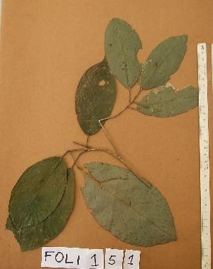(Maesobotrya - FOLI151)  @11 [ ] CreativeCommons - Attribution Non-Commercial Share-Alike (2013) Unspecified Herbarium de l'Université Libre de Bruxelles