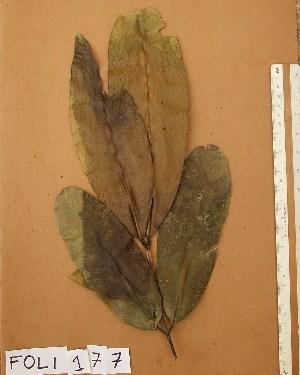 (Calophyllaceae - FOLI177)  @11 [ ] CreativeCommons - Attribution Non-Commercial Share-Alike (2013) Unspecified Herbarium de l'Université Libre de Bruxelles