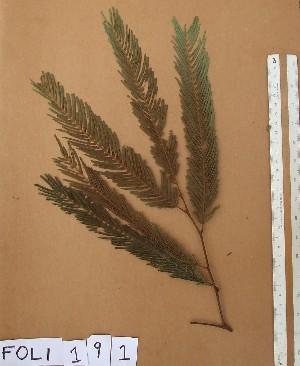 (Samanea - FOLI191)  @11 [ ] CreativeCommons - Attribution Non-Commercial Share-Alike (2013) Unspecified Herbarium de l'Université Libre de Bruxelles