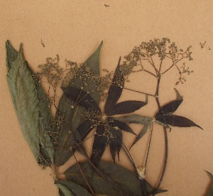 (Vitex ferruginea - FOLI196)  @11 [ ] CreativeCommons - Attribution Non-Commercial Share-Alike (2013) Unspecified Herbarium de l'Université Libre de Bruxelles