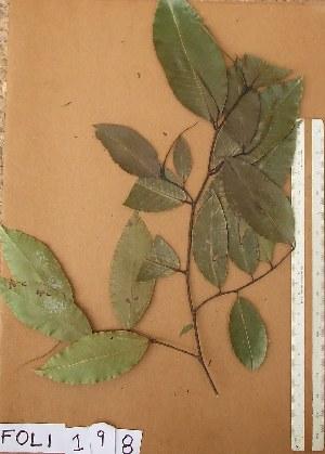 (Irvingiaceae - FOLI198)  @11 [ ] CreativeCommons - Attribution Non-Commercial Share-Alike (2013) Unspecified Herbarium de l'Université Libre de Bruxelles
