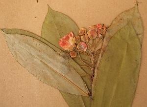 (Clusiaceae - FOLI199)  @11 [ ] CreativeCommons - Attribution Non-Commercial Share-Alike (2013) Unspecified Herbarium de l'Université Libre de Bruxelles