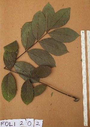( - FOLI202)  @11 [ ] CreativeCommons - Attribution Non-Commercial Share-Alike (2013) Unspecified Herbarium de l'Université Libre de Bruxelles