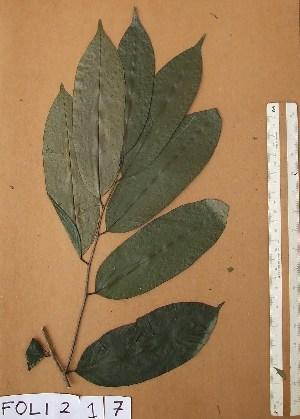 (Diospyros canaliculata - FOLI217)  @11 [ ] CreativeCommons - Attribution Non-Commercial Share-Alike (2013) Unspecified Herbarium de l'Université Libre de Bruxelles