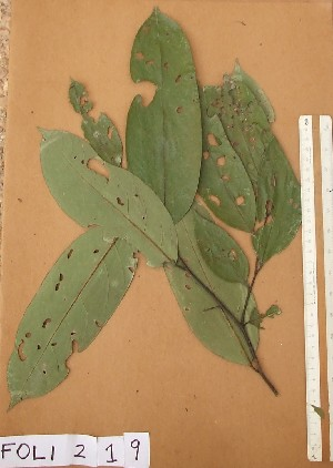 (Diospyros sanza-minika - FOLI219)  @11 [ ] CreativeCommons - Attribution Non-Commercial Share-Alike (2013) Unspecified Herbarium de l'Université Libre de Bruxelles