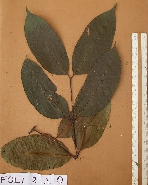 (Picralima - FOLI220)  @11 [ ] CreativeCommons - Attribution Non-Commercial Share-Alike (2013) Unspecified Herbarium de l'Université Libre de Bruxelles