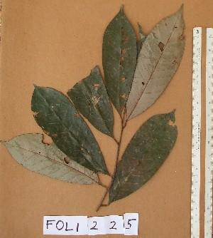 (Chrysophyllum subnudum - FOLI225)  @11 [ ] CreativeCommons - Attribution Non-Commercial Share-Alike (2013) Unspecified Herbarium de l'Université Libre de Bruxelles