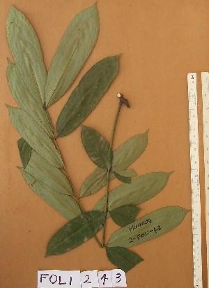 (Hannoa - FOLI243)  @11 [ ] CreativeCommons - Attribution Non-Commercial Share-Alike (2013) Unspecified Herbarium de l'Université Libre de Bruxelles