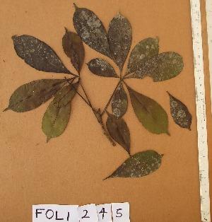 (Rhodognaphalon - FOLI245)  @11 [ ] CreativeCommons - Attribution Non-Commercial Share-Alike (2013) Unspecified Herbarium de l'Université Libre de Bruxelles