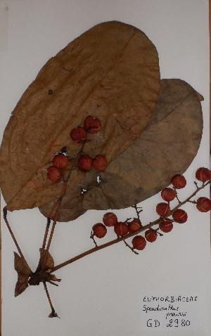 (Spondianthus - BRLU-GD2980)  @11 [ ] CreativeCommons - Attribution Non-Commercial Share-Alike (2013) Unspecified Herbarium de l'Université Libre de Bruxelles