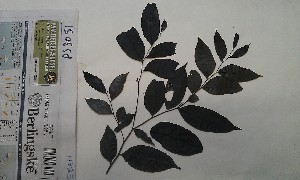 (Diospyros cooperi - FHO-PS3051)  @11 [ ] Copyright (2013) Unspecified University of Oxford, Department of Plant Sciences