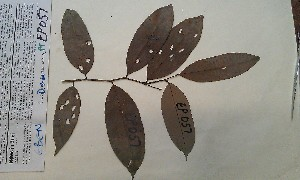 (Diospyros sanza-minika - FHO-PUTUEP57)  @11 [ ] Copyright (2013) Unspecified University of Oxford, Department of Plant Sciences