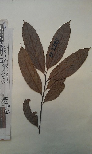 (Keayodendron - FHO-EP2285)  @11 [ ] Copyright (2013) Unspecified University of Oxford, Department of Plant Sciences