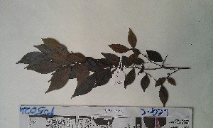 (Tessmannia - FHO-PS5024)  @11 [ ] Copyright (2013) Unspecified University of Oxford, Department of Plant Sciences