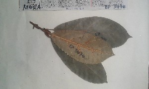 (Ficus conraui - FHO-EP3474)  @11 [ ] Copyright (2013) Unspecified University of Oxford, Department of Plant Sciences