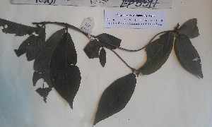 (Rutidea - FHO-EP5397)  @11 [ ] Copyright (2013) Unspecified University of Oxford, Department of Plant Sciences