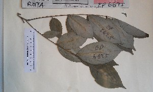 (Zanthoxylum - FHO-EP6625)  @11 [ ] Copyright (2013) Unspecified University of Oxford, Department of Plant Sciences