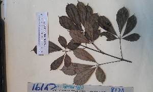 (Vitex micrantha - FHO-CY191)  @11 [ ] Copyright (2013) Unspecified University of Oxford, Department of Plant Sciences