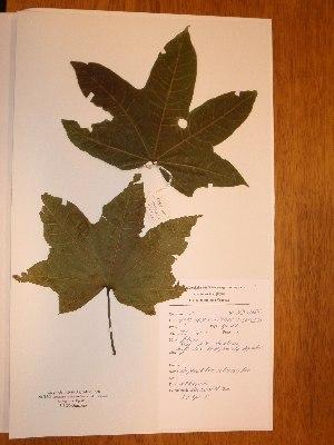 (Triplochiton - BRLU-NB0487)  @11 [ ] CreativeCommons - Attribution Non-Commercial Share-Alike (2013) Unspecified Herbarium de l'Université Libre de Bruxelles