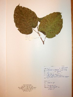 (Milicia sp - BRLU-NB0537)  @11 [ ] CreativeCommons - Attribution Non-Commercial Share-Alike (2013) Unspecified Herbarium de l'Université Libre de Bruxelles