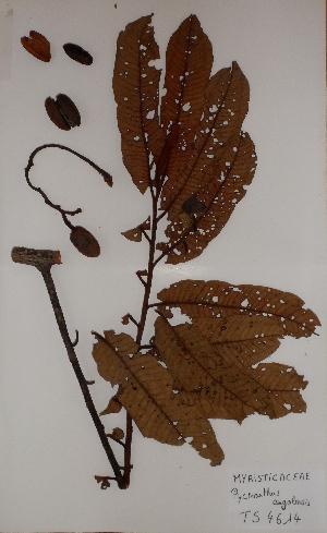 (Magnoliales - BRLU-TS4614)  @11 [ ] CreativeCommons - Attribution Non-Commercial Share-Alike (2013) Unspecified Herbarium de l'Université Libre de Bruxelles