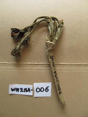 (Schumanniophyton - WH213a_006)  @11 [ ] CreativeCommons - Attribution Non-Commercial Share-Alike (2013) Unspecified Herbarium de l'Université Libre de Bruxelles