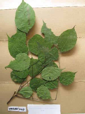 (Cylicodiscus - WH213a_047)  @11 [ ] CreativeCommons - Attribution Non-Commercial Share-Alike (2013) Unspecified Herbarium de l'Université Libre de Bruxelles