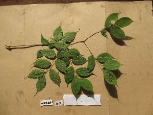 (Bussea - WH213a_110)  @11 [ ] CreativeCommons - Attribution Non-Commercial Share-Alike (2013) Unspecified Herbarium de l'Université Libre de Bruxelles