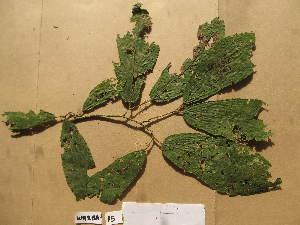 (Desplatsia - WH213a_115)  @11 [ ] CreativeCommons - Attribution Non-Commercial Share-Alike (2013) Unspecified Herbarium de l'Université Libre de Bruxelles