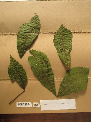 (Ricinodendron - WH213a_152)  @11 [ ] CreativeCommons - Attribution Non-Commercial Share-Alike (2013) Unspecified Herbarium de l'Université Libre de Bruxelles