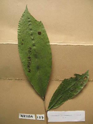 (Amanoa - WH213a_177)  @11 [ ] CreativeCommons - Attribution Non-Commercial Share-Alike (2013) Unspecified Herbarium de l'Université Libre de Bruxelles