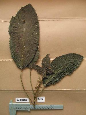 (Discoclaoxylon - WH213a_203)  @11 [ ] CreativeCommons - Attribution Non-Commercial Share-Alike (2013) Unspecified Herbarium de l'Université Libre de Bruxelles