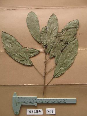 (Mareya - WH213a_207)  @11 [ ] CreativeCommons - Attribution Non-Commercial Share-Alike (2013) Unspecified Herbarium de l'Université Libre de Bruxelles