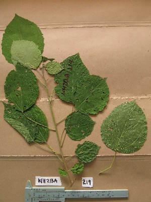 (Discoglypremna - WH213a_219)  @11 [ ] CreativeCommons - Attribution Non-Commercial Share-Alike (2013) Unspecified Herbarium de l'Université Libre de Bruxelles