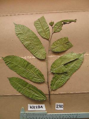 (Anthostema - WH213a_230)  @11 [ ] CreativeCommons - Attribution Non-Commercial Share-Alike (2013) Unspecified Herbarium de l'Université Libre de Bruxelles