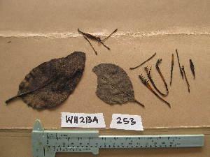 (Tapinanthus - WH213a_253)  @11 [ ] CreativeCommons - Attribution Non-Commercial Share-Alike (2013) Unspecified Herbarium de l'Université Libre de Bruxelles