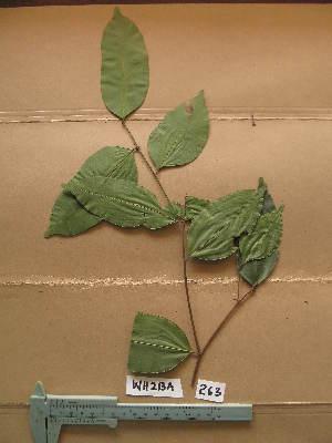 (Chrysophyllum pruniforme - WH213a_263)  @11 [ ] CreativeCommons - Attribution Non-Commercial Share-Alike (2013) Unspecified Herbarium de l'Université Libre de Bruxelles